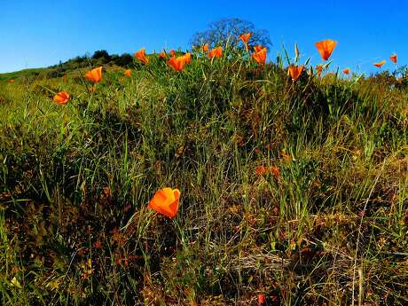 California poppies are now blooming in Tice Valley on the flank of Mount Diablo