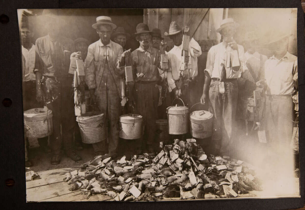 From June to November of 1920, more than 6,000 rat traps were set and 40 rat trappers were hired. They captured and killed nearly 50,000 rats in six months.