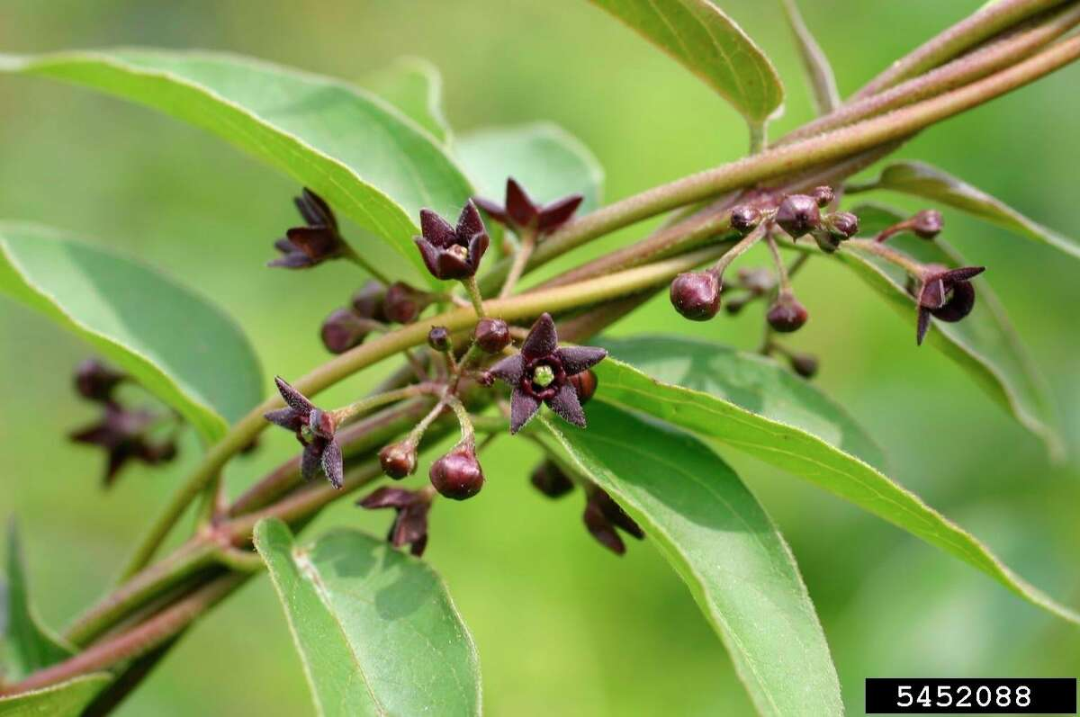 """Black swallow-wort, also called """"dog-strangling vine,"""" can cover trees and shrubs, preventing growth. (Leslie J. Mehrhoff, University of Connecticut, Bugwood.org)"""
