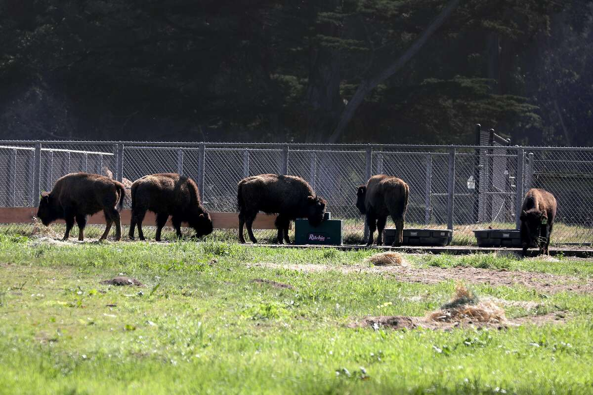 Five new bison have been introduced to the herd at the buffalo paddock at Golden Gate Park in time for the 150th anniversary of the park's founding on Tuesday, March 3, 2020, in San Francisco, Calif.
