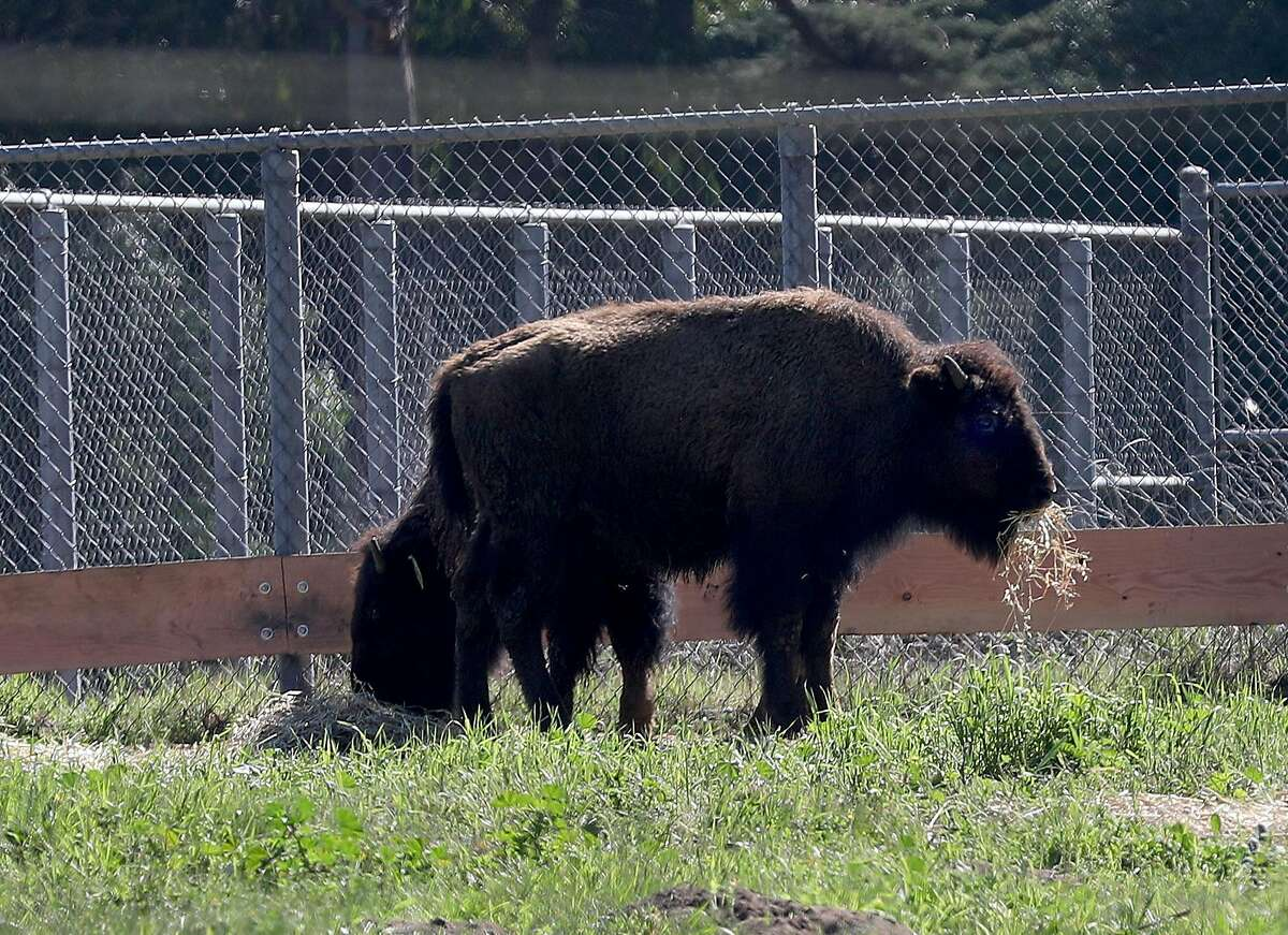 Two of five new bison who have been introduced to the herd at the buffalo paddock at Golden Gate Park in time for the 150th anniversary of the park's founding on Tuesday, March 3, 2020, in San Francisco, Calif.