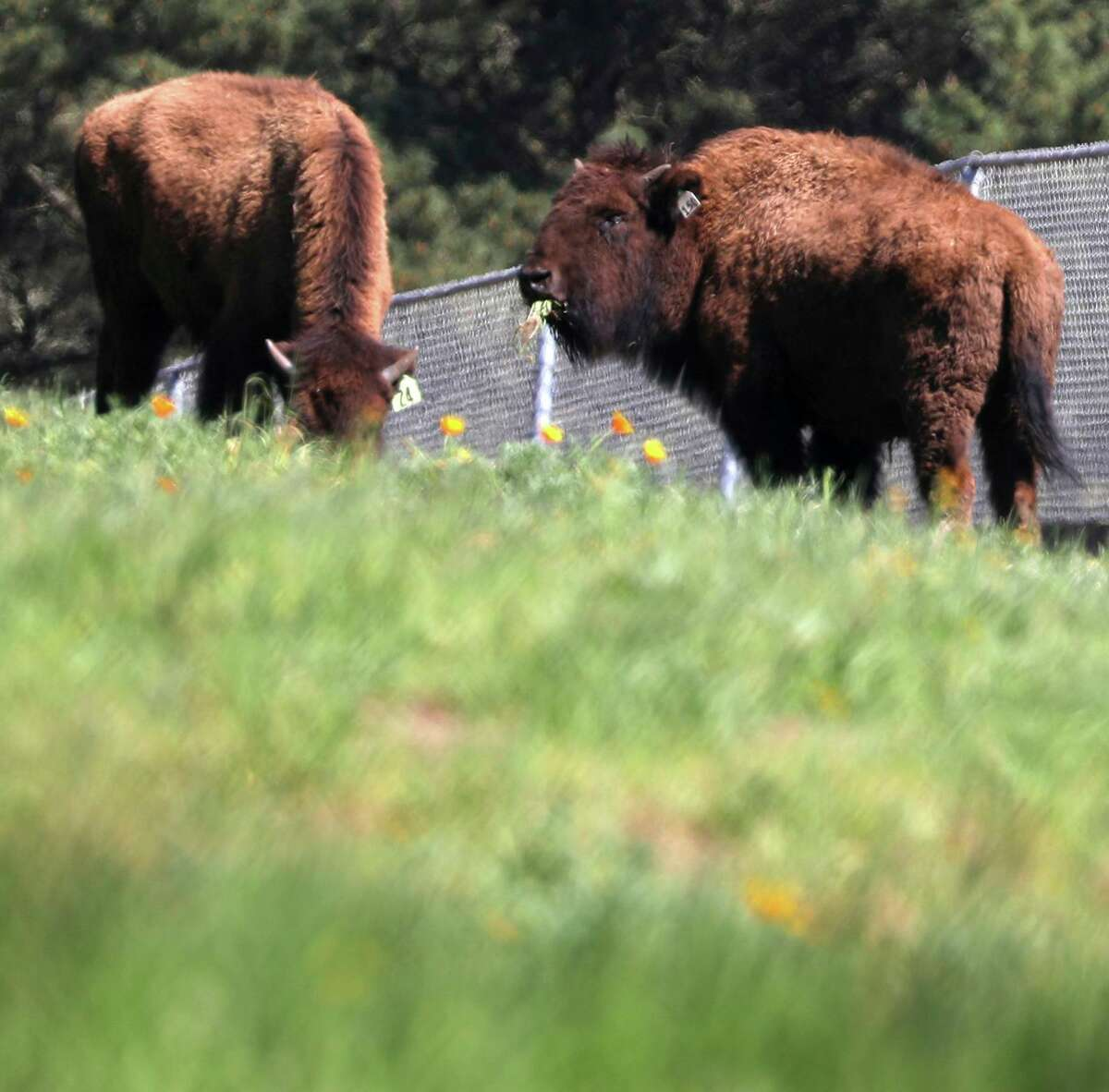 New additions to Golden Gate Park's bison herd chomp on the bounty of their new San Francisco residence.
