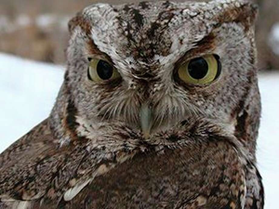 Thursday, March 5: Owl Prowl is set for 6:30 to 8:30 p.m. at Chippewa Nature Center, 400 S. Badour Road in Midland. Registration required.(Photo provided/Chippewa Nature Center)