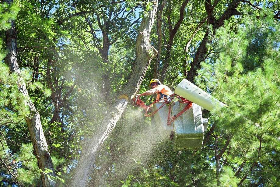 An Eversource worker uses a chainsaw to cut a large branch as part of routine tree-trimming work across Connecticut. Photo: Contributed Photo