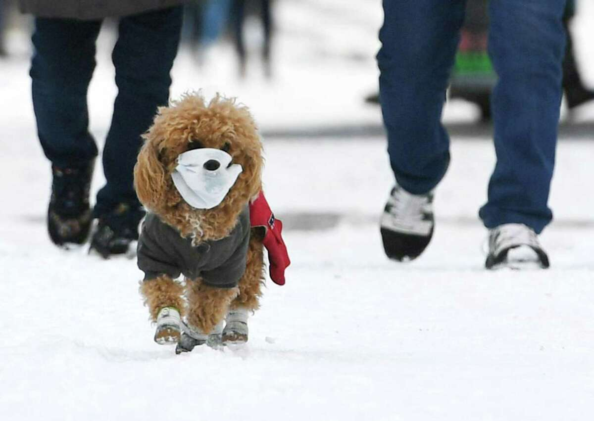 A pet dog wearing a face mask takes a stroll in the snow.