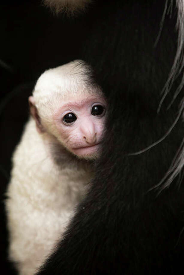 "Teak with Cecelia at the Saint Louis Zoo. Guereza colobus, also called ""mantled"" guereza, also have a distinctive mantle of long white hair, extending from their shoulders around the edge of their backs. An infant's coat will change gradually until reaching adult coloration at about 6 months old. Photo: Photo Credit Ethan Riepl/Saint Louis Zoo