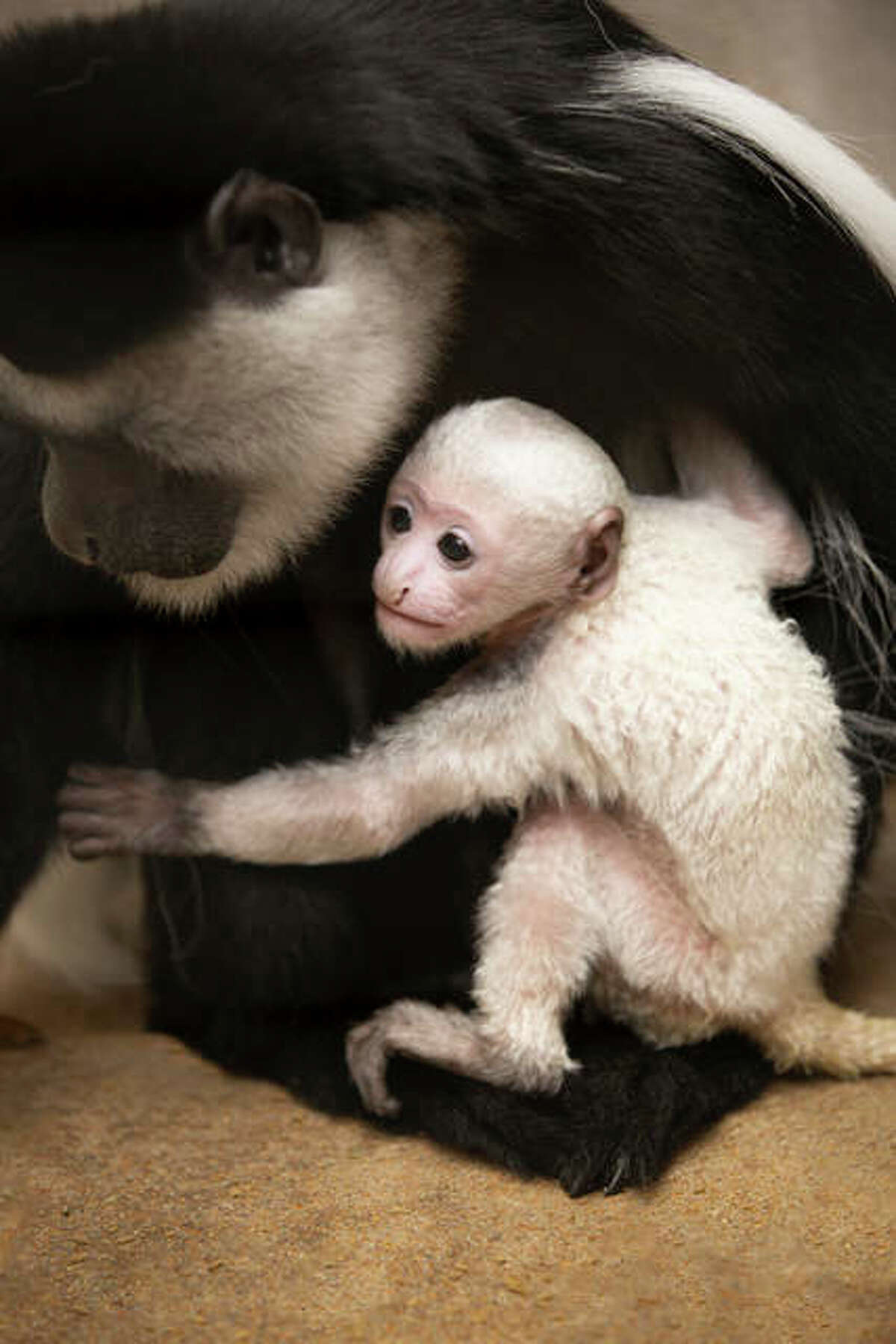 Teak, a baby guereza colobus monkey, was born Feb. 3 at the Saint Louis Zoo, as part of the Association of Zoos and Aquariums (AZA) cooperatively managed Species Survival Plan Program. He mostly nurses and sleeps, but lately visitors can spot the male completely white monkey with his large family during regular zoo hours at the Primate House.