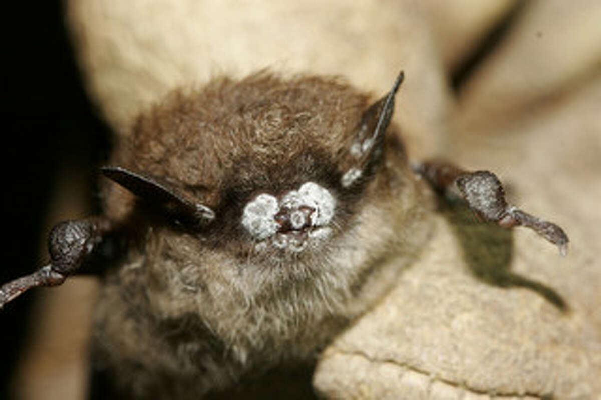 White-Nose Syndrome (WNS) is caused by a fungus, and looks like a white fuzz on bats' faces, which is how the disease got its name, according to whitenosesyndrome.org. Little Brown Bat; close up of nose with fungus, New York, Oct. 2008.