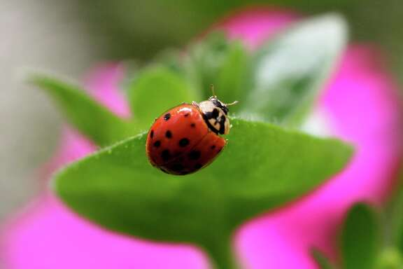 Ladybugs are among the most efficient of the beneficial insects, particularly for home gardeners. The adults and larvae feed voraciously on aphids and mites, among other plant pests. Both are available from certain nurseries and mail-order suppliers.