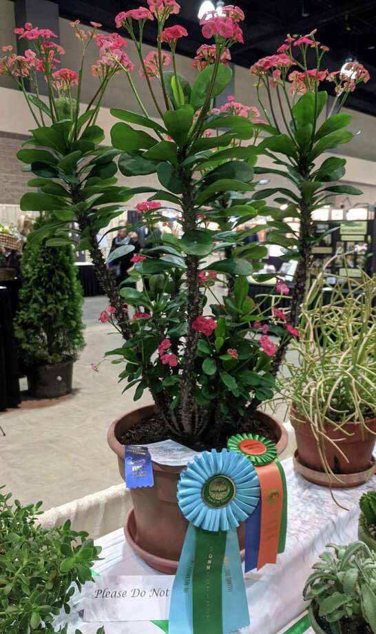 "The Litchfield Garden Club (LGC) was well represented at the Federated Garden Clubs of Connecticut Flower Show, with eight members entered in the design, horticulture and photography classes. Above, Sara Gault's Horticulture Entry Euphorbia milii ""Crown-of-Thorns."" Photo: Litchfield Garden Club / Contributed Photo /"