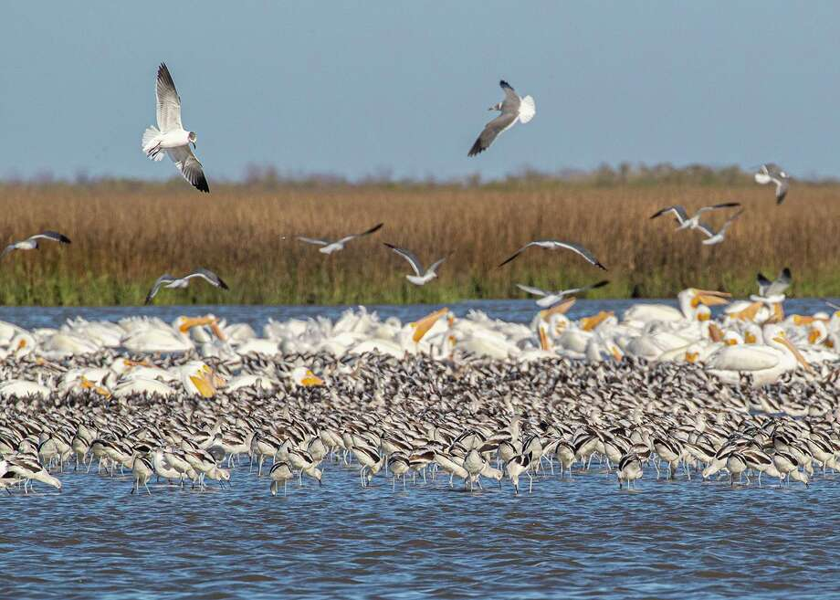 A flock of American avocets feed with laughing gulls and American white pelicans in the shallow water along the Bolivar Peninsula.  Photo Credit:  Kathy Adams Clark      Restricted use. Photo: Kathy Adams Clark / Kathy Adams Clark/KAC Productions / Kathy Adams Clark/KAC Productions