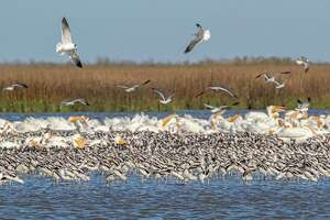 A flock of American avocets feed with laughing gulls and American white pelicans in the shallow water along the Bolivar Peninsula.  Photo Credit:  Kathy Adams Clark      Restricted use.
