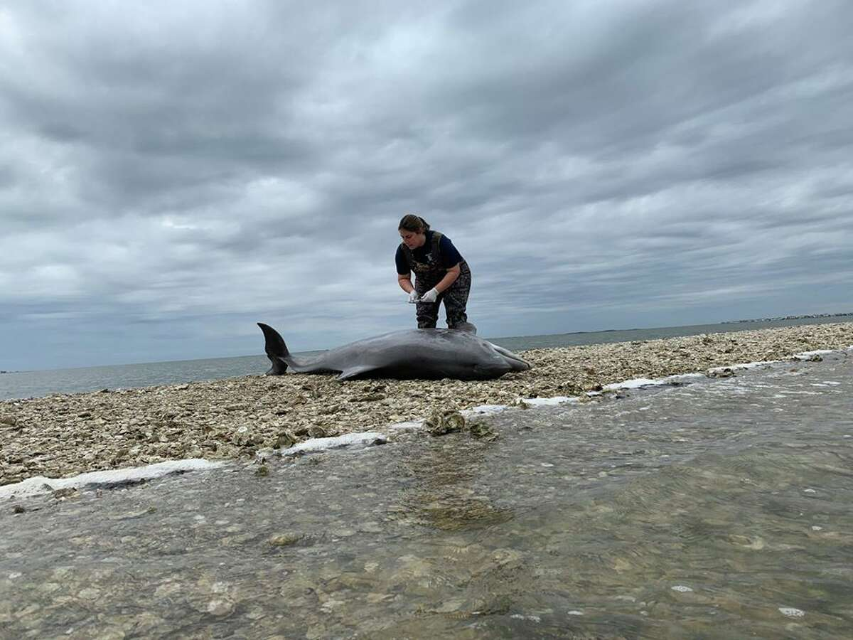 Dolphins are the sentinels for ocean health. The Texas Marine Mammal Stranding Network serves as one of the top response teams to help stranded dolphins along the Texas coastline.