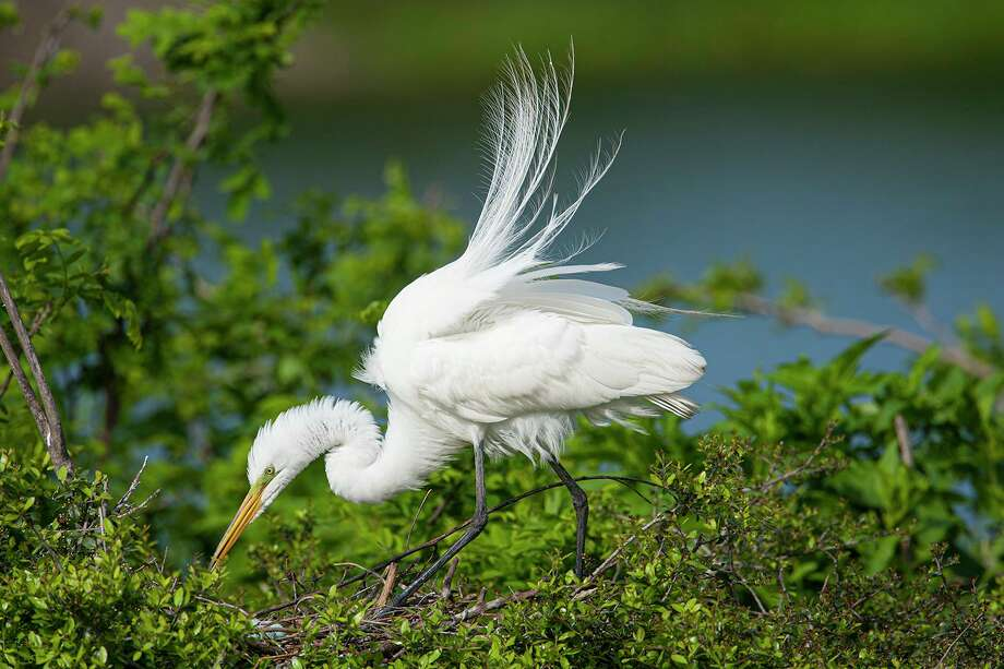 A great egret in breeding plumage at the rookery in Houston Audubon's Smith Oaks bird sanctuary. Photo: Kathy Adams Clark /KAC Productions / Kathy Adams Clark/KAC Productions