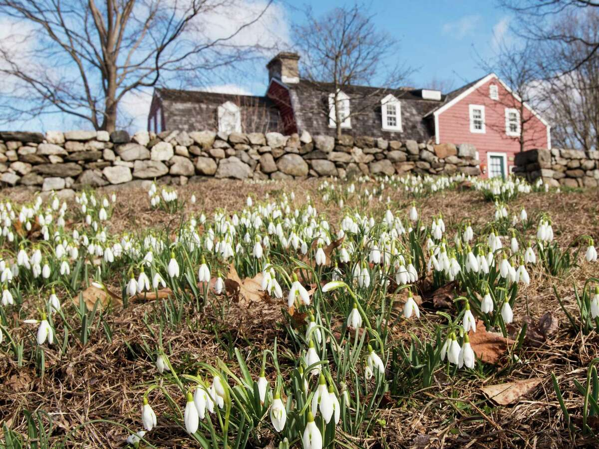 Snowdrops are up at the Weir Farm on the Ridgefield-Wilton line, responding to the recent stretch of spring-like weather. The true coming of Spring is March 19 this year.