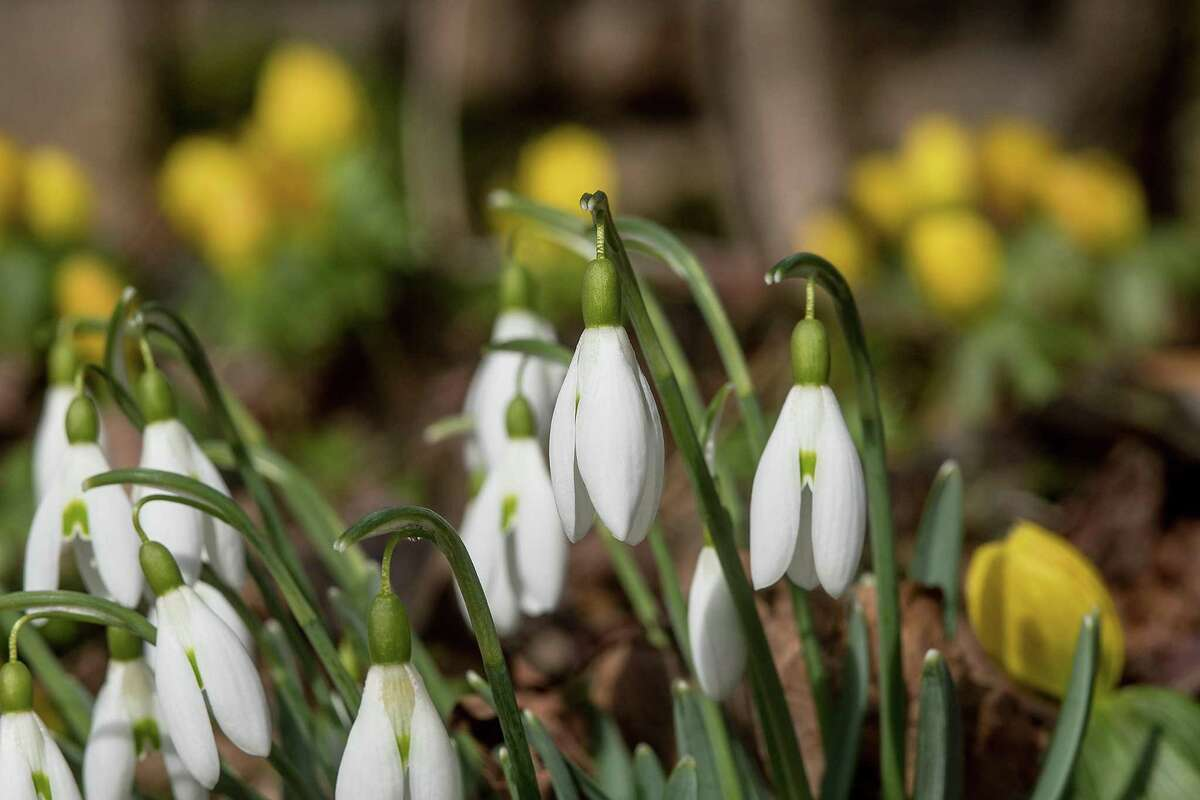 Snowdrops are up at the Weir Farm, responding to the recent stretch of spring-like weather. The true coming of spring is March 19, and while it's still too early to tell if March will go out like a lamb, the winter has been relatively quiet.