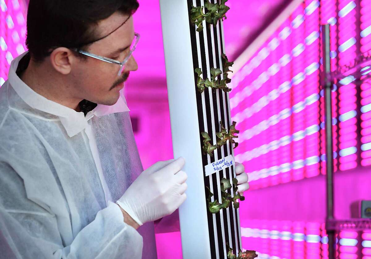 Brandon Wagner, a staff member at San Antonio Clubhouse, shows a plant panel of Fusion Summer crisp lettuce growing in the Clubhouse Grows new hyproponic farm on Friday. The farm, situated in a freight container, will be able to grow and produce more than 500 heads of lettuce in a week.