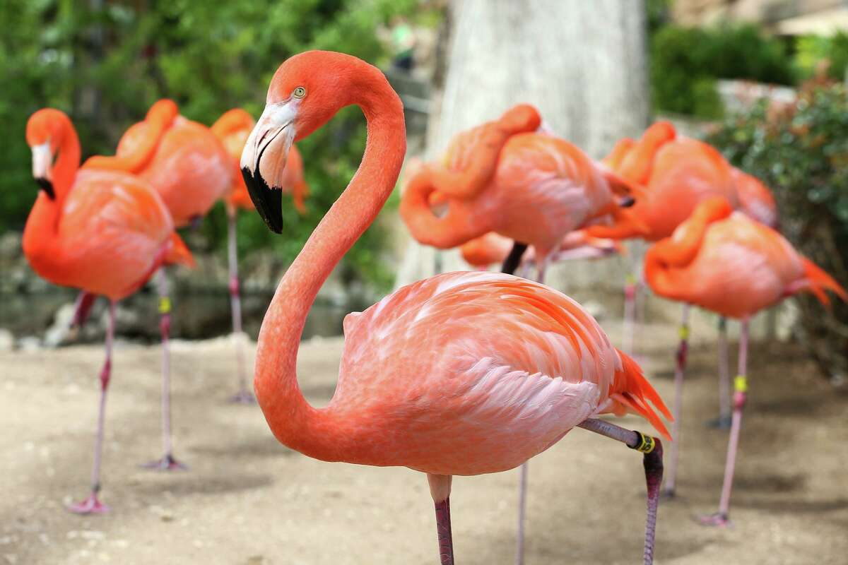 Flamingos at the San Antonio Zoo have displayed some mating behaviors over the past few weeks. The zoo will explore the sex lives of animals in a series of adult-oriented tours that will debut over Valentine's Day weekend.