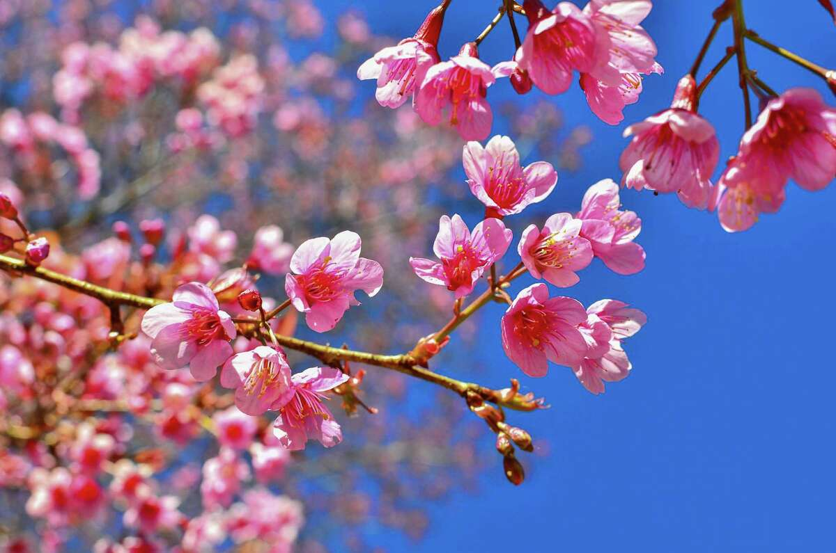 Cherry blossoms, which were given to the United States as a gift by Japan in 1912, typically bloom in Connecticut during April and May.