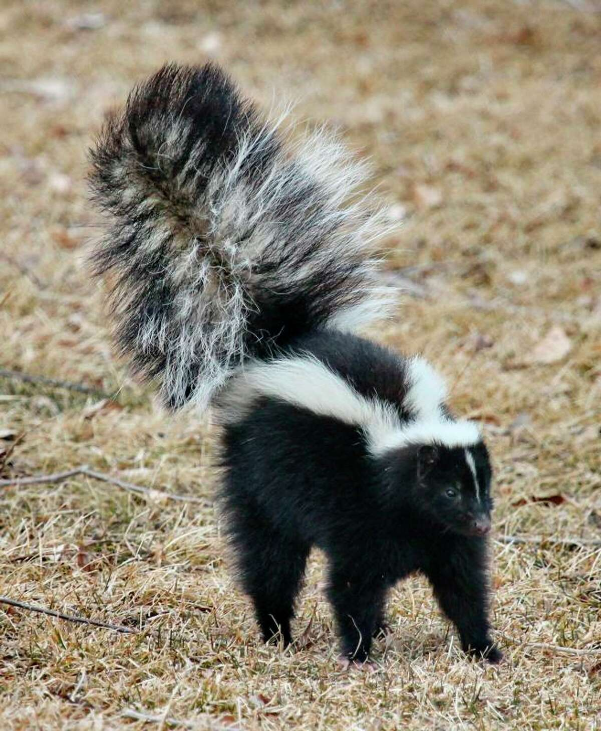 FILE - Monroe's animal control officers reportedly euthanized a skunk that was found in the front yard of a Yankee Hill Road residence on March 3, 2020. (Wallace Keck/National Park Service via AP)