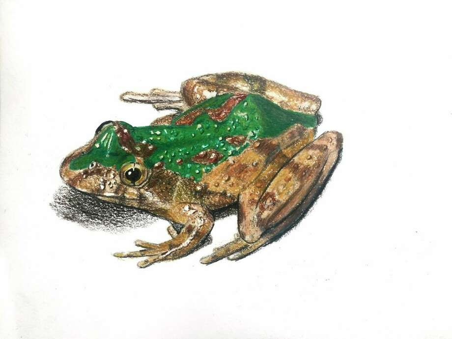 Illustration of Blanchard's cricket frog. (Photo/Amelia Cole)