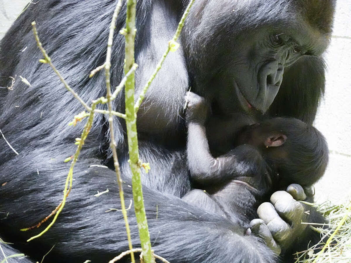 Woodland Park Zoo has released the first pictures of its baby gorilla, a boy born March 4 to mom Uzumma and dad Kwame. The first-time mom and newborn are thriving and bonding in off-view sleeping dens. More photos are available on the zoo's blog.
