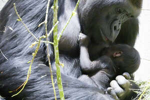 Woodland Park Zoo has released the first pictures of its baby gorilla, a boy born March 4 to mom Uzumma and dad Kwame. The first-time mom and newborn are thriving and bonding in off-view sleeping dens.  More photos are available on the zoo's blog .