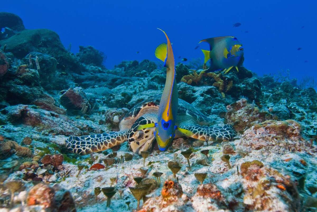 Sea turtle (Chelonioidea) and queen angelfish (Holacanthus ciliaris) eating together, Cozumel, Mexico, Caribbean