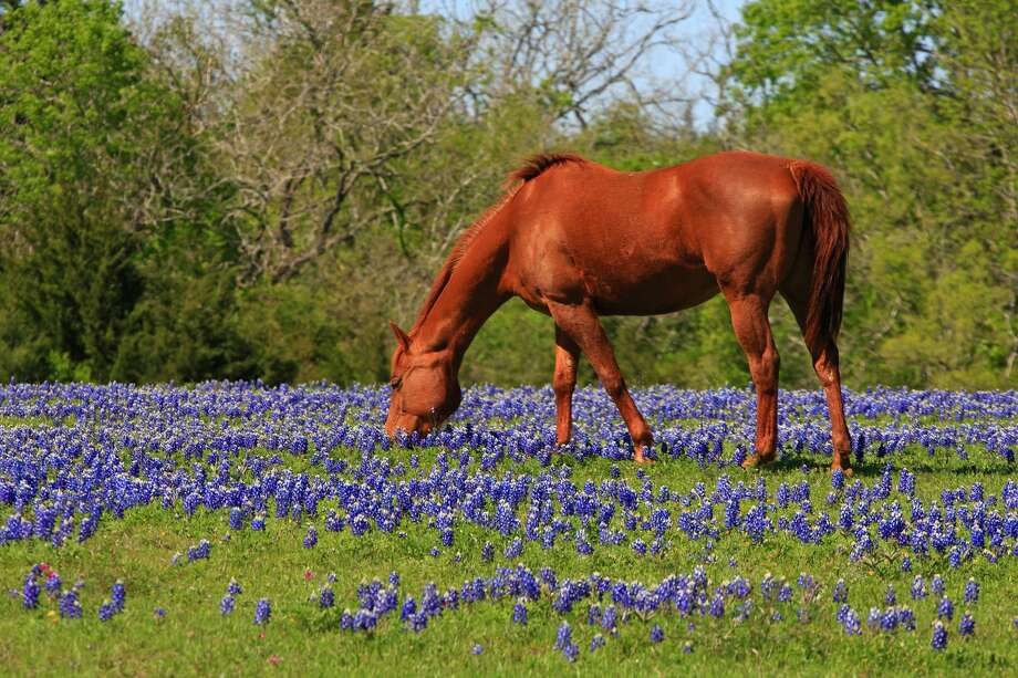 While Texans are always on the lookout for a beautiful field of bluebonnets or wildflowers, spring 2020 brings nature-lovers a new opportunity to track down the best views: an app from the Texas A&M Forest Service. Photo: Getty Images