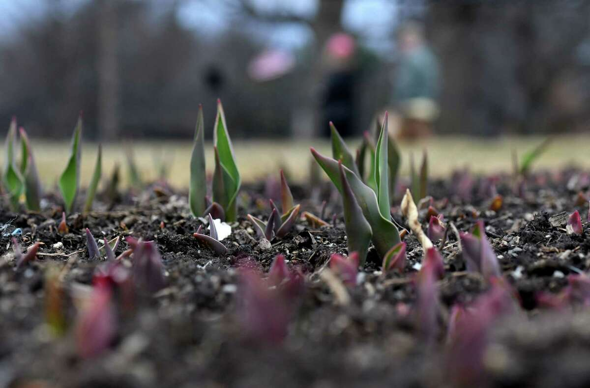 Flowers will get another day of quality growing time on Thursday, March 12, 202o. In this photograph, plant life continues in its slow assent from the flowerbeds at Washington Park on Tuesday, March 10, 2020, in Albany, N.Y. (Will Waldron/Times Union)