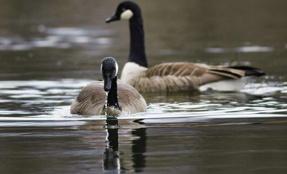 Friday will be a good day for geese with rain showers and wind moving in. In this photo, two geese look for food in Washington Park Lake on Tuesday, March 10, 2020, in Albany, N.Y. (Paul Buckowski/Times Union)