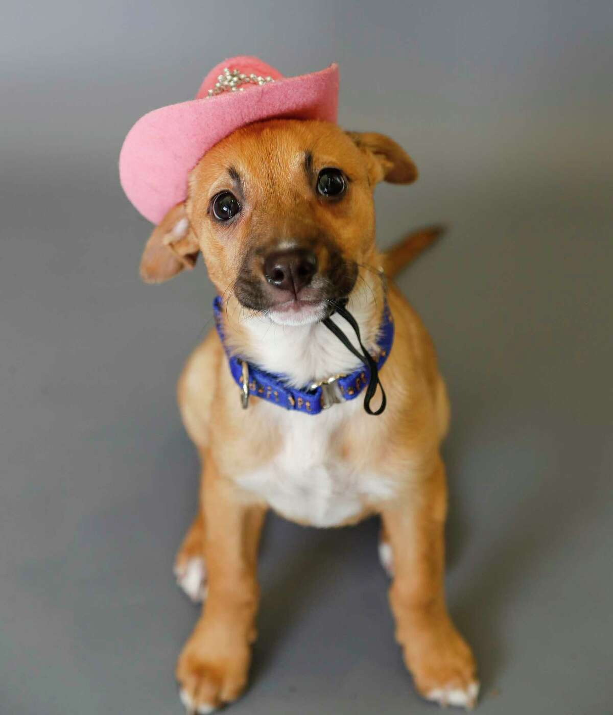 Mandy (A1676054) is a 11-week-old, female, Black Mouth Cur Mix mix available for adoption from the BARC Animal Shelter, in Houston,Tuesday, March 10, 2020. Mandy was found as a stray in a landfill and at 5 weeks old, and very sick with sarcoptic mange, upper respiratory infections, eye infections, entropian, and ringworm! And now because of an amazing foster mom, she has recovered and ready for a new family. In addition to being a sweetheart, she also already knows the command to