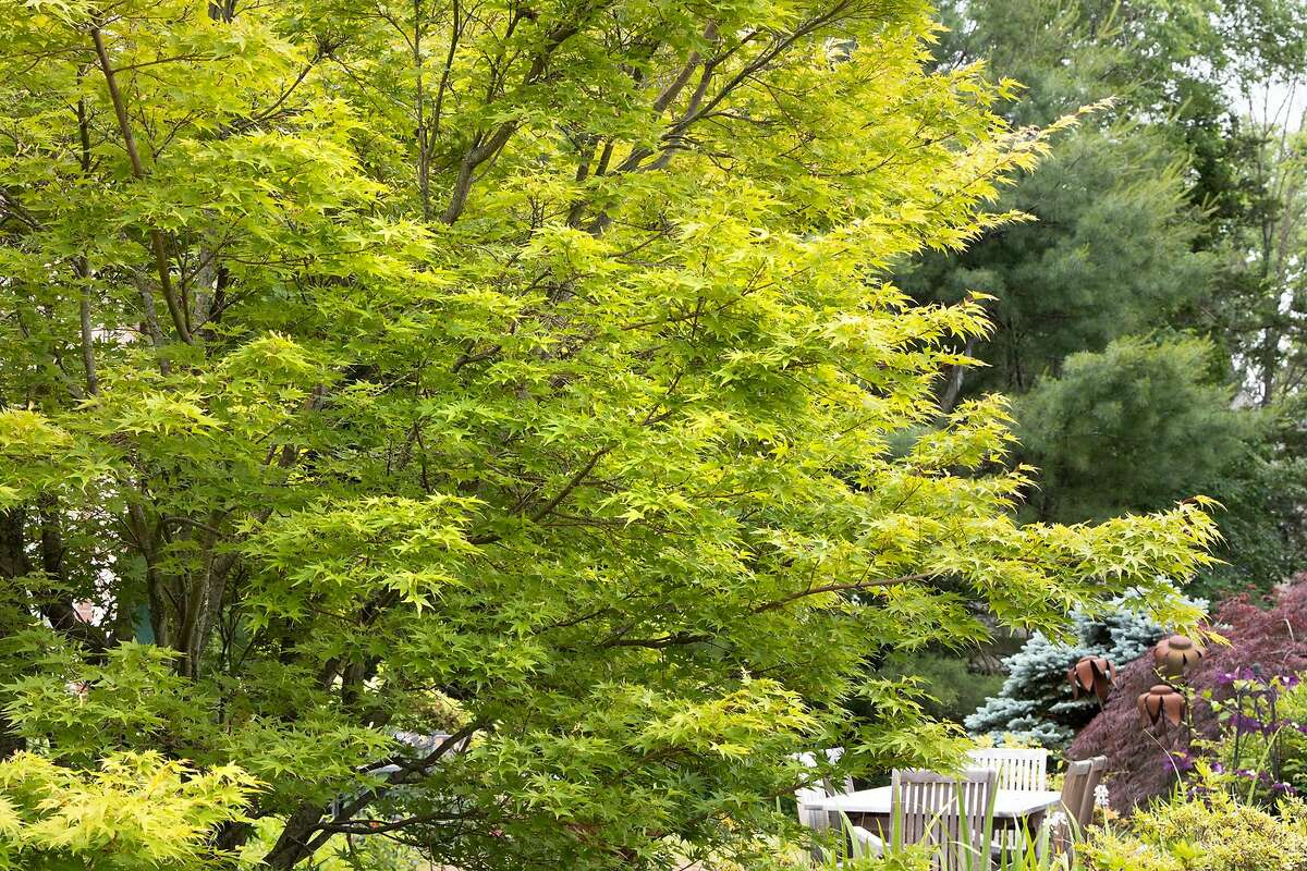Coral Bark maple ('Sango Kaku') is the clear favorite for an upright (15-20') palmate selection in green.
