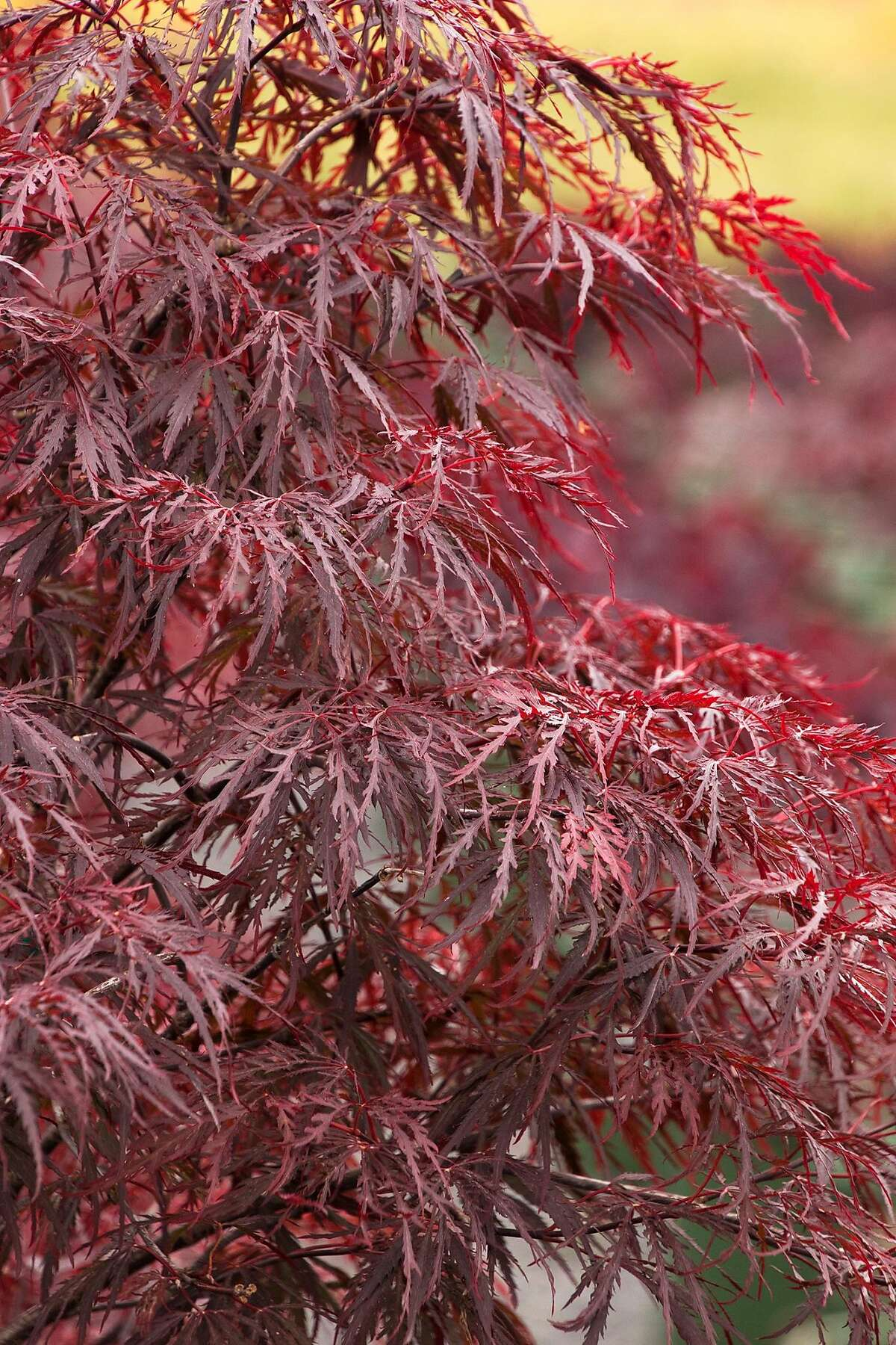 For a shorter and dissected leaf variety, the 4-8' 'Red Dragon' is a sought after choice.