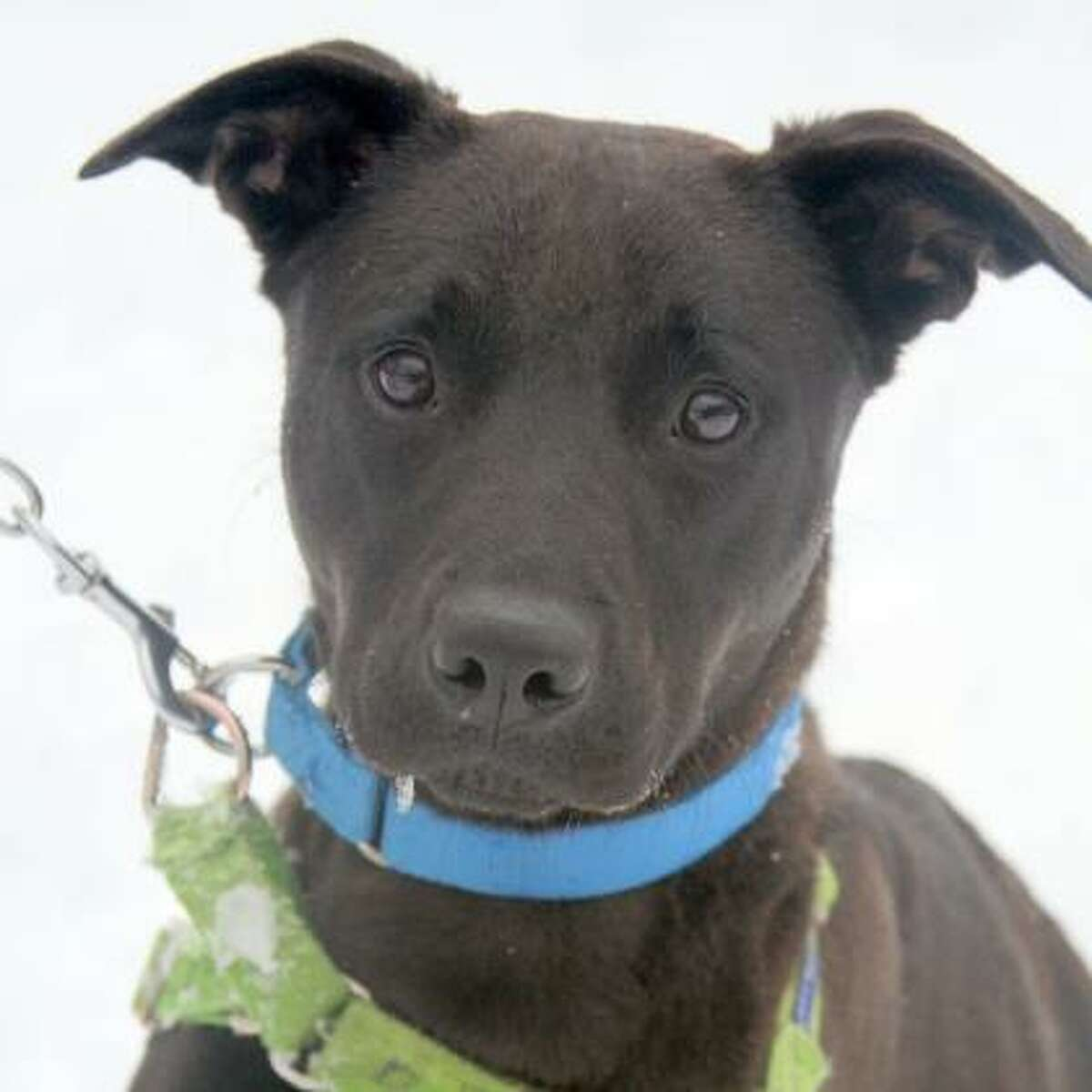 Zoro is a 1-year-old shepherd mix.