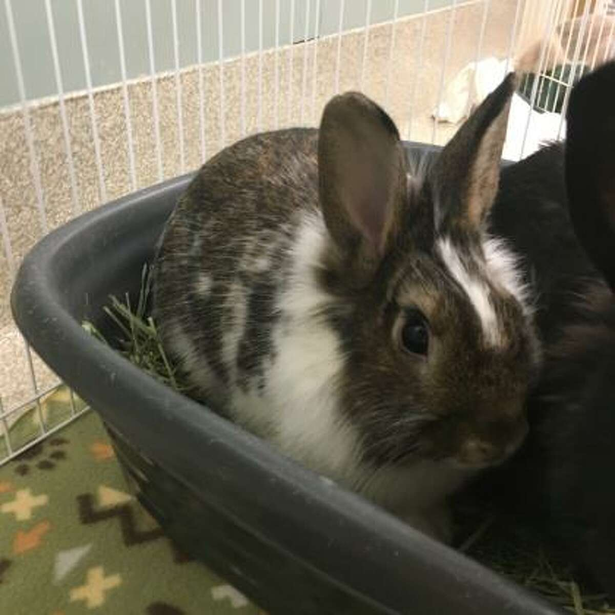 Weasley is a 2-year-old male rabbit.