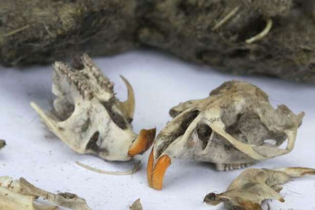 A program for ages 7 to 15 on owl pellets is taking place at Greenwich's Bruce Museum on March 22.