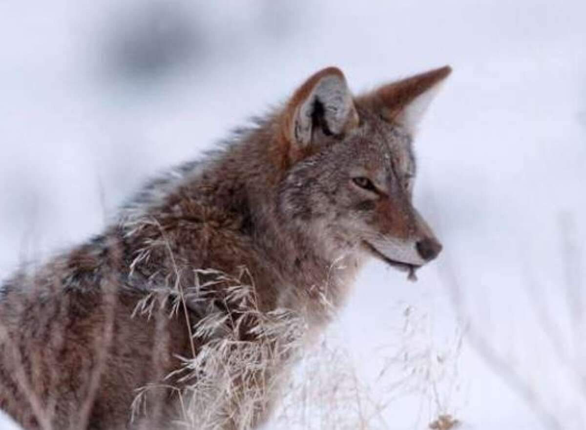 Officials say coyote sightings are on the rise across the country. The cause of the increase may be twofold. First, experts say people are simply home looking out their windows more, and thus have more opportunity to see the coyotes that may be there everyday. And second, coyotes may be venturing out further to take advantage of empty streets. CLICK HERE to read the full story.
