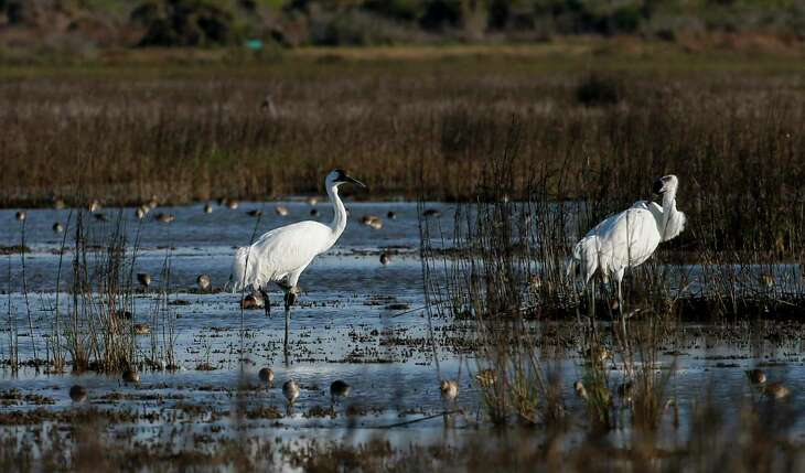 Two whooping cranes waddle through a salt marsh near the Saint Charles Bay in Rockport, Texas. Salt marshes are a key source of crabs, which whooping cranes eat.