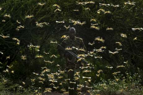 """FILE - In this Saturday, Feb. 1, 2020 file photo, ranger Gabriel Lesoipa is surrounded by desert locusts as he and a ground team relay the coordinates of the swarm to a plane spraying pesticides, in Nasuulu Conservancy, northern Kenya. A supercomputer is boosting efforts in East Africa to control a locust outbreak that raises what the U.N. food agency calls """"an unprecedented threat"""" to the region's food security. (AP Photo/Ben Curtis, File)"""