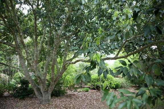 Japanese blue oak or glaucous-leaf oak at the John Fairey Garden.