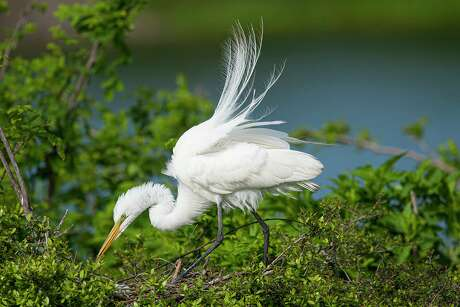 Great egrets in breeding plumage and other colonial water birds can be seen at the rookery at Houston Audubon's Smith Oaks bird sanctuary in High Island.