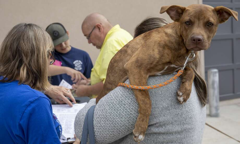Pumpkin looks over Heather Brooks shoulder while he gets registered for vaccinations at the Fix West Texas clinic on Thursday, March 12, 2020 at the Odessa Police Department. Photo: Jacy Lewis/Reporter-Telegram