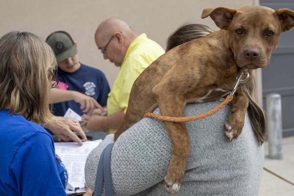 Pumpkin looks over Heather Brooks shoulder while he gets registered for vaccinations at the Fix West Texas clinic on Thursday, March 12, 2020 at the Odessa Police Department.