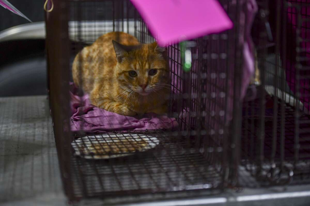 A cat waits to be fixed at the Fix West Texas clinic on Thursday, March 12, 2020 at the Odessa Police Department. Jacy Lewis/Reporter-Telegram