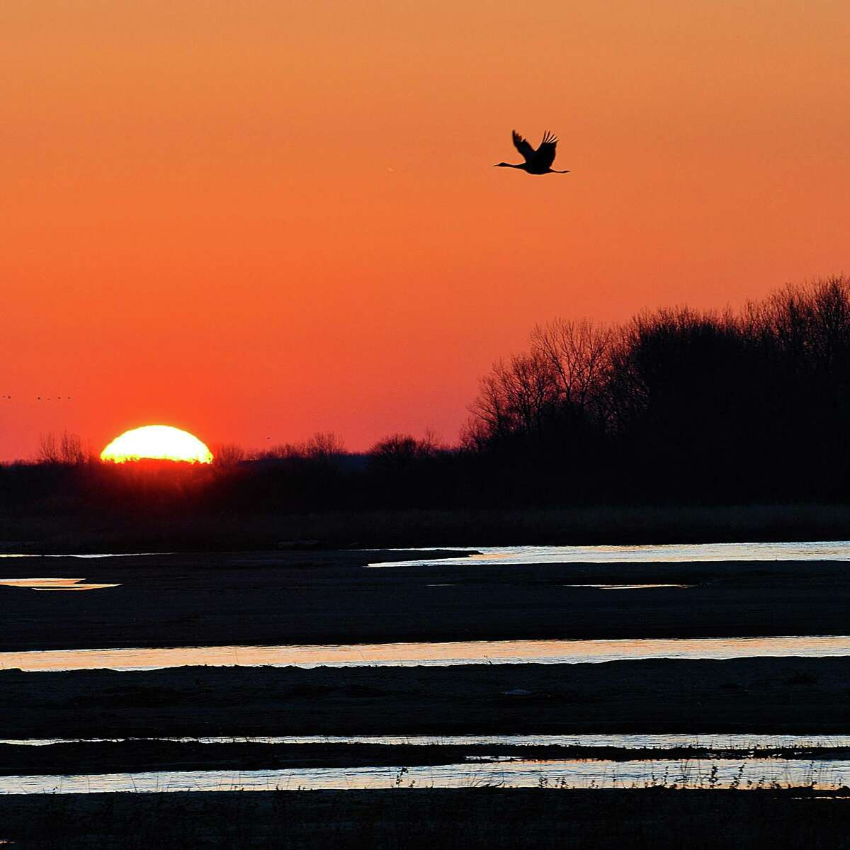 A sandhill crane at sunrise in Nebraska