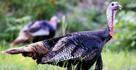 Spring is an oasis for Rio Grande wild turkey hunters, and there is plenty to be optimistic about for 2020 and beyond.