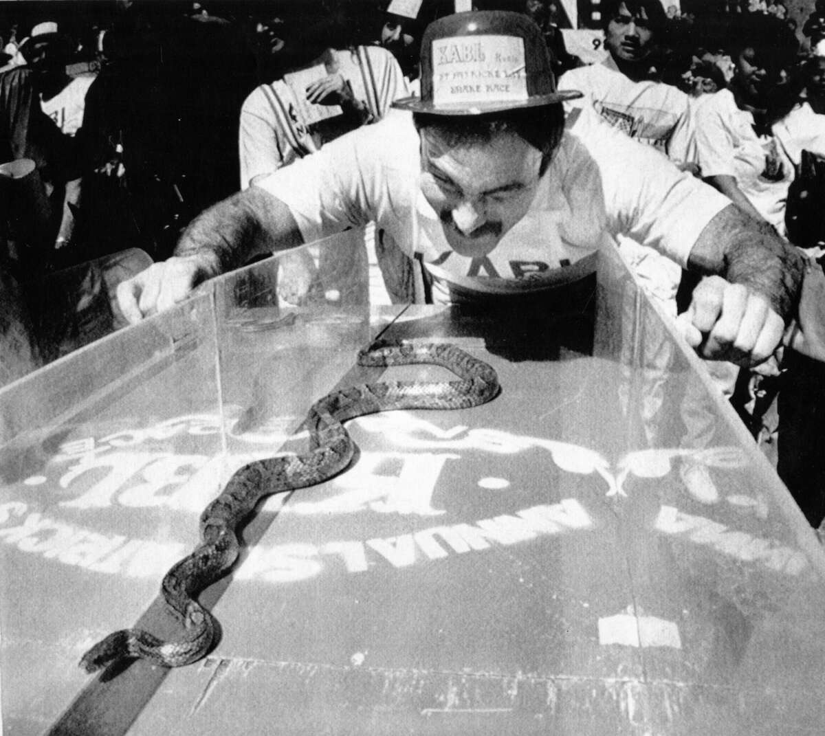 """Snake chaser, Steven Holt of Pacifica, CA cheers on his snake """"Sir Hiss"""" for the title """"Fastest snake in the West"""" during the 20th annual St. Patrick's Day snake race in San Francisco. Undated AP photo, ca. 1970's."""