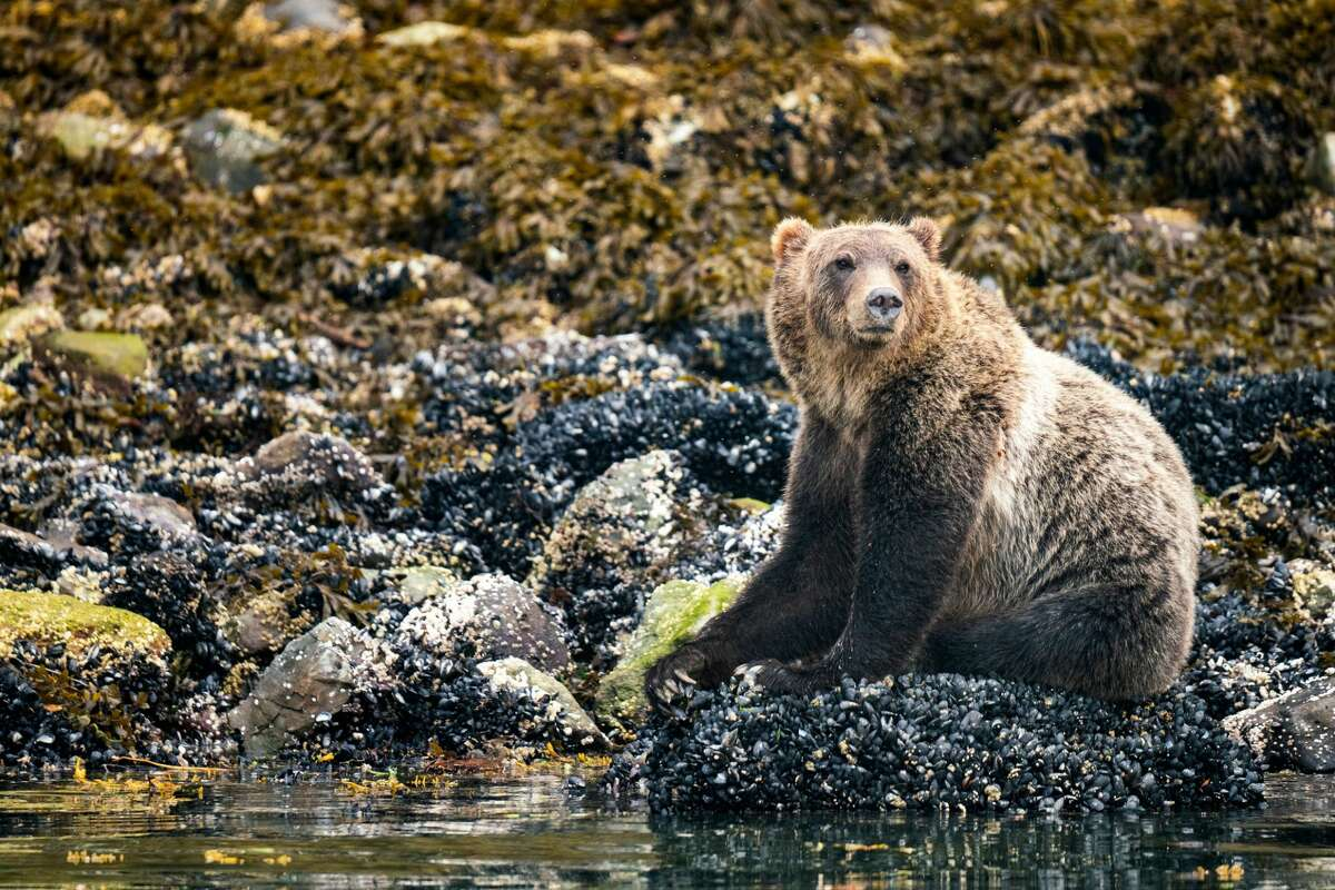 Grizzly bear eating mussels at low tide, Knight Inlet, Vancouver Island, British Columbia, Canada.