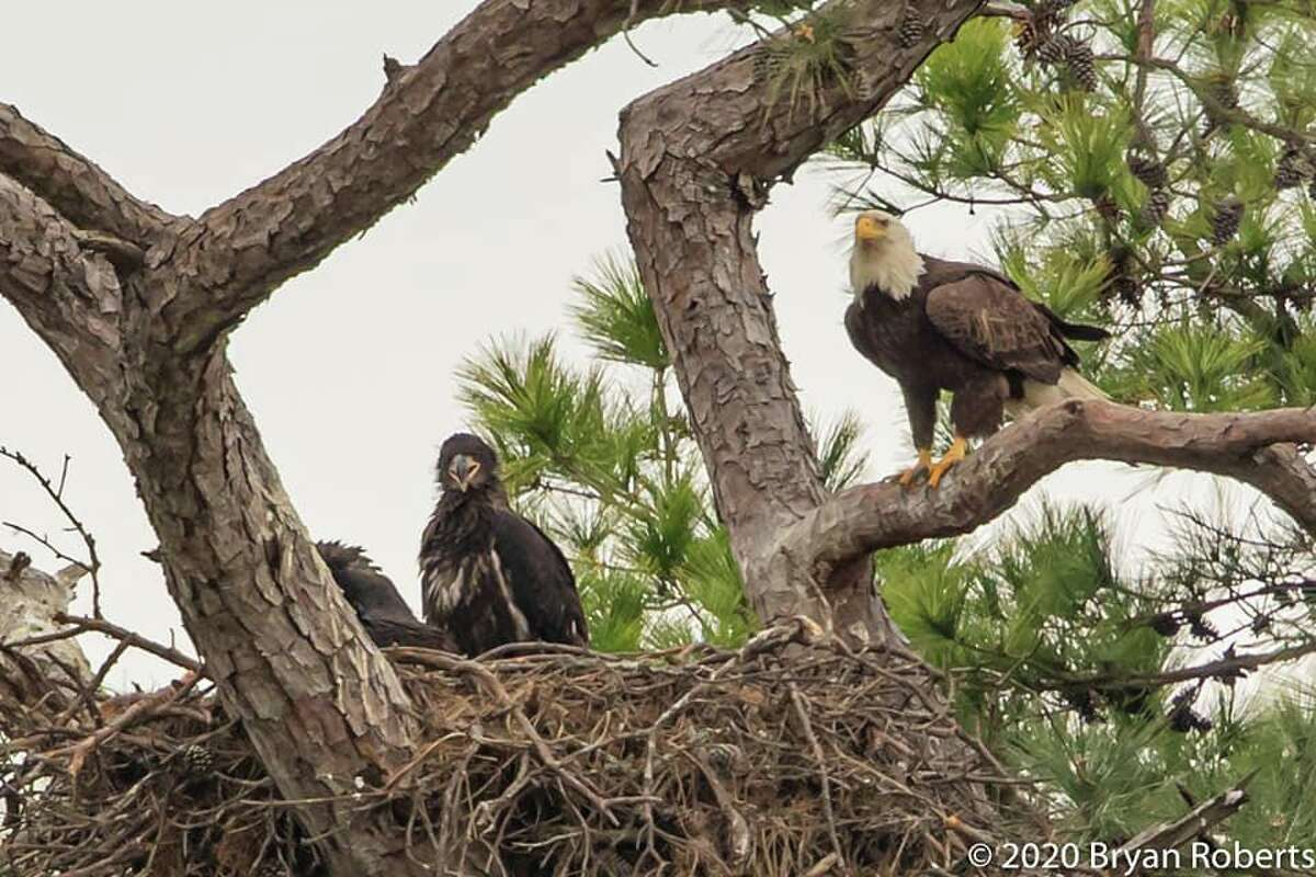 Dozens of people have turned out to see an active bald eagle nest, located near FM 2920 and Highway 249 in Tomball.